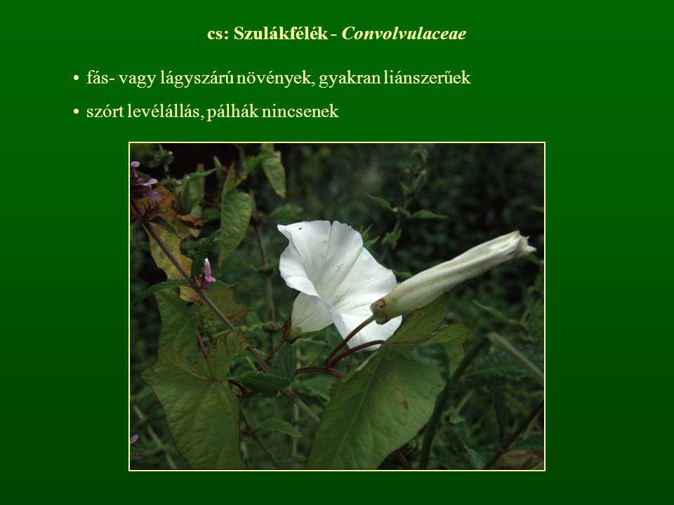 cs: Szulákfélék - Convolvulaceae fás- vagy lágyszárú növények, gyakran liánszerűek szórt levélállás, pálhák nincsenek