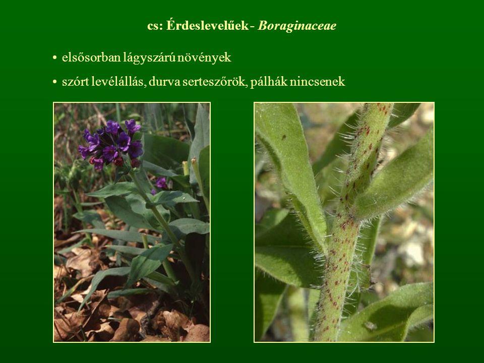 cs: Érdeslevelűek - Boraginaceae elsősorban lágyszárú növények szórt levélállás, durva serteszőrök, pálhák nincsenek