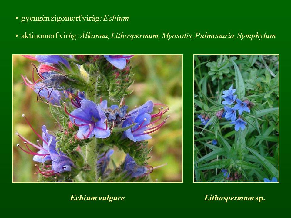 gyengén zigomorf virág: Echium aktinomorf virág: Alkanna, Lithospermum, Myosotis, Pulmonaria, Symphytum Echium vulgareLithospermum sp.