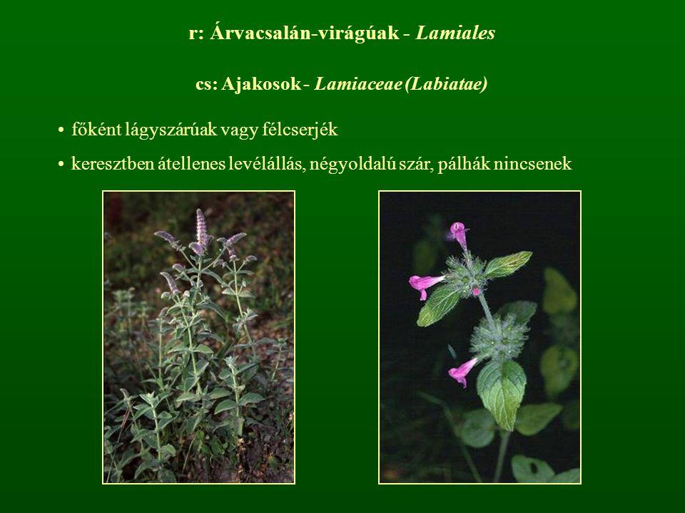 r: Árvacsalán-virágúak - Lamiales cs: Ajakosok - Lamiaceae (Labiatae) főként lágyszárúak vagy félcserjék keresztben átellenes levélállás, négyoldalú s