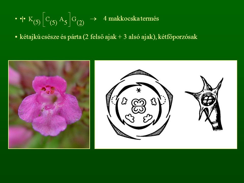 |  4 makkocska termés kétajkú csésze és párta (2 felső ajak + 3 alsó ajak), kétfőporzósak
