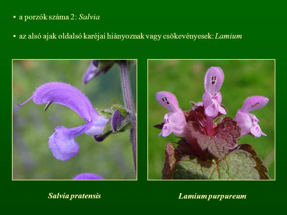 a porzók száma 2: Salvia az alsó ajak oldalsó karéjai hiányoznak vagy csökevényesek: Lamium Salvia pratensis Lamium purpureum