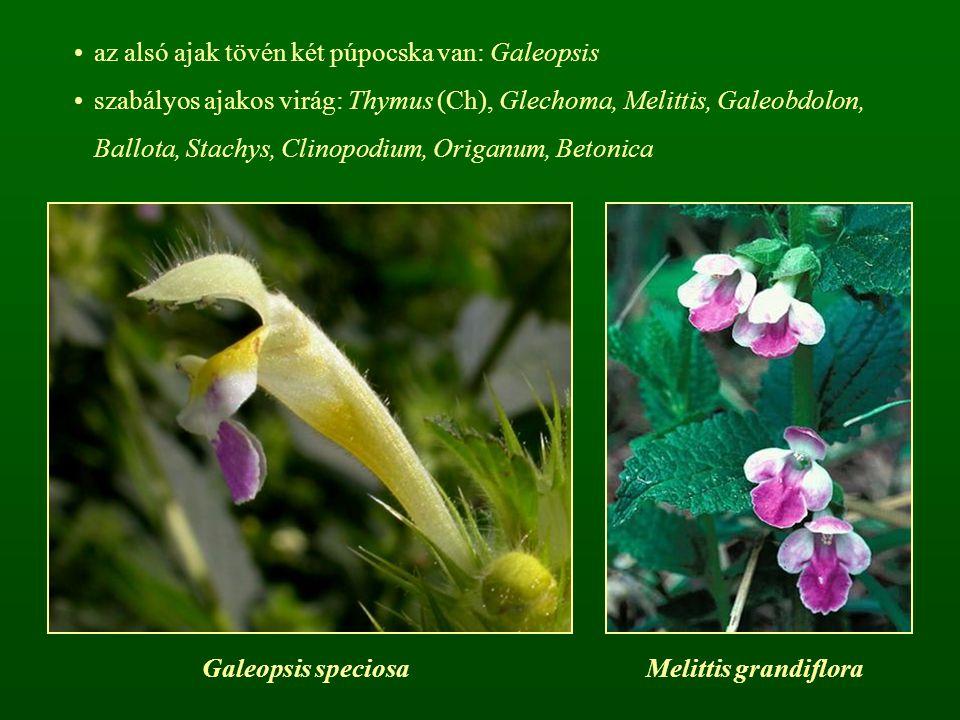 az alsó ajak tövén két púpocska van: Galeopsis szabályos ajakos virág: Thymus (Ch), Glechoma, Melittis, Galeobdolon, Ballota, Stachys, Clinopodium, Or