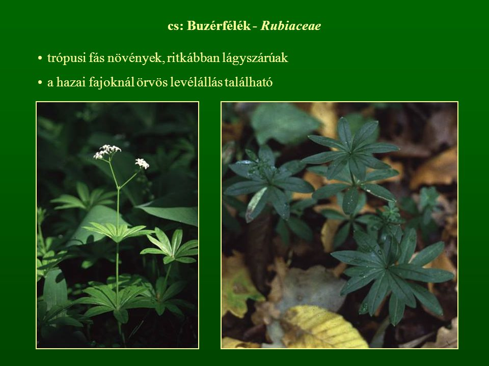 r: Harangvirágúak - Campanulales cs: Harangvirágfélék - Campanulaceae többnyire lágyszárú növények