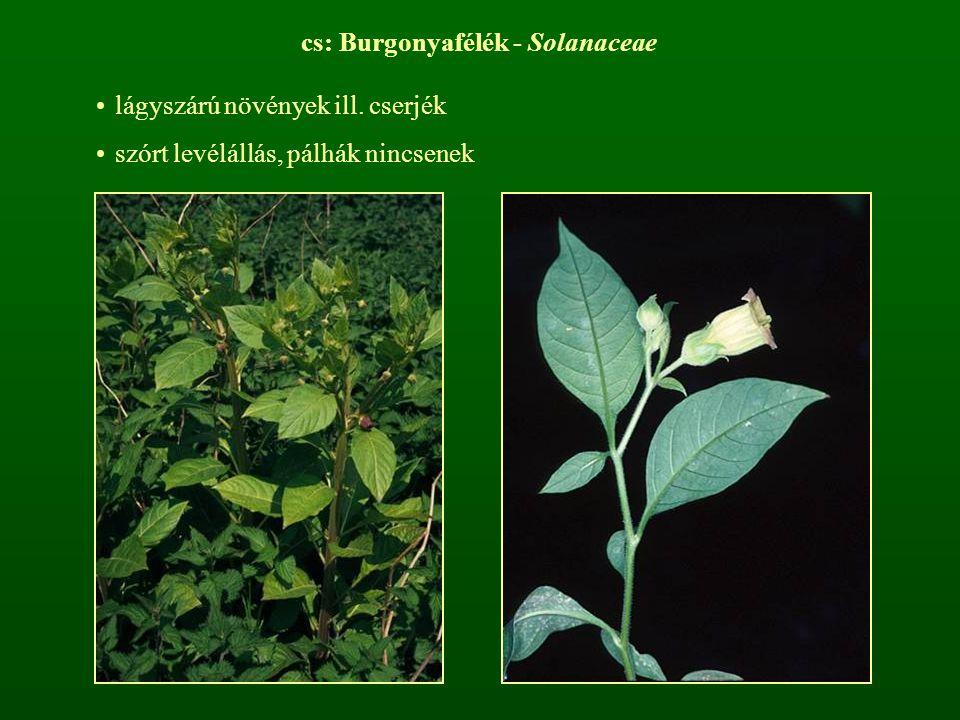 cs: Burgonyafélék - Solanaceae lágyszárú növények ill. cserjék szórt levélállás, pálhák nincsenek