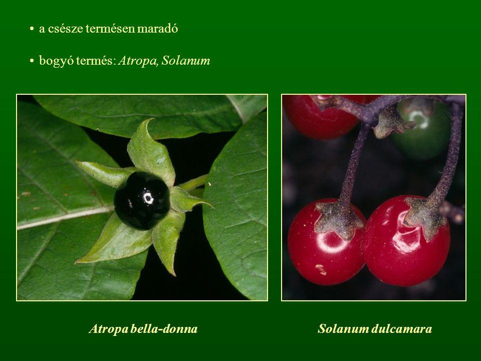 a csésze termésen maradó bogyó termés: Atropa, Solanum Atropa bella-donnaSolanum dulcamara