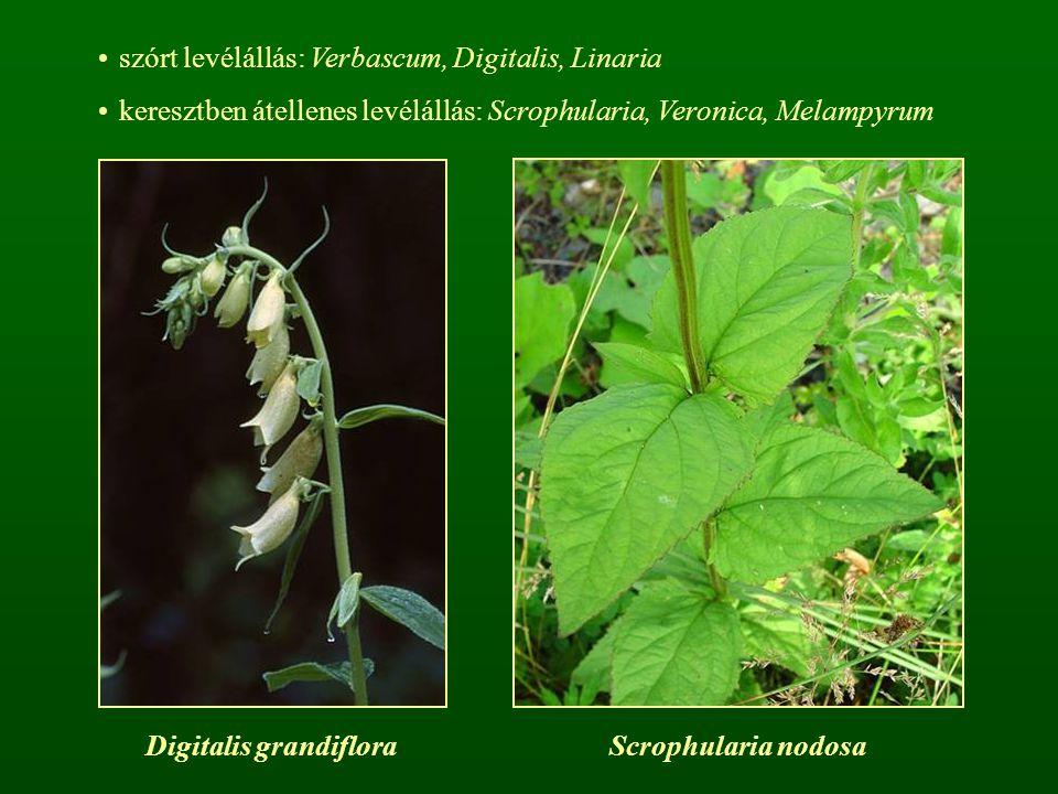 szórt levélállás: Verbascum, Digitalis, Linaria keresztben átellenes levélállás: Scrophularia, Veronica, Melampyrum Digitalis grandifloraScrophularia