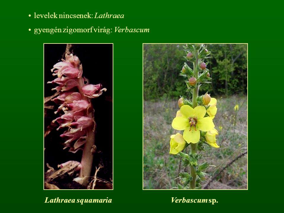 levelek nincsenek: Lathraea gyengén zigomorf virág: Verbascum Lathraea squamariaVerbascum sp.