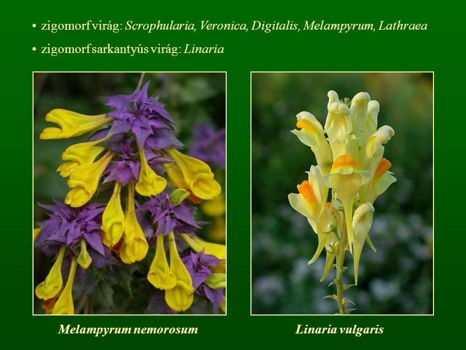zigomorf virág: Scrophularia, Veronica, Digitalis, Melampyrum, Lathraea zigomorf sarkantyús virág: Linaria Melampyrum nemorosumLinaria vulgaris