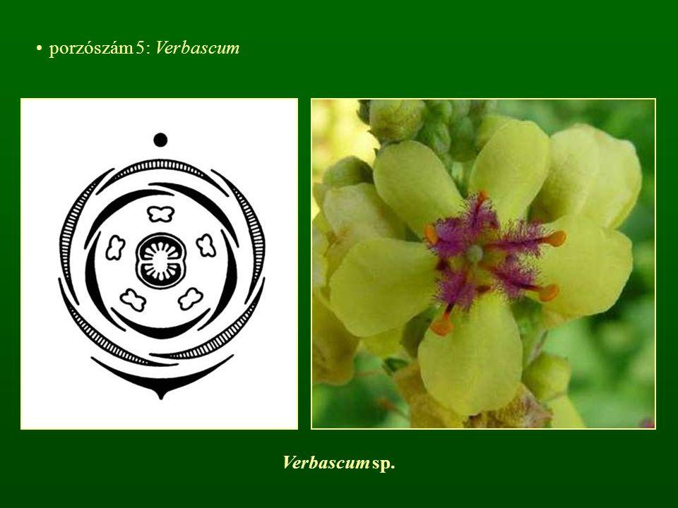 porzószám 5: Verbascum Verbascum sp.