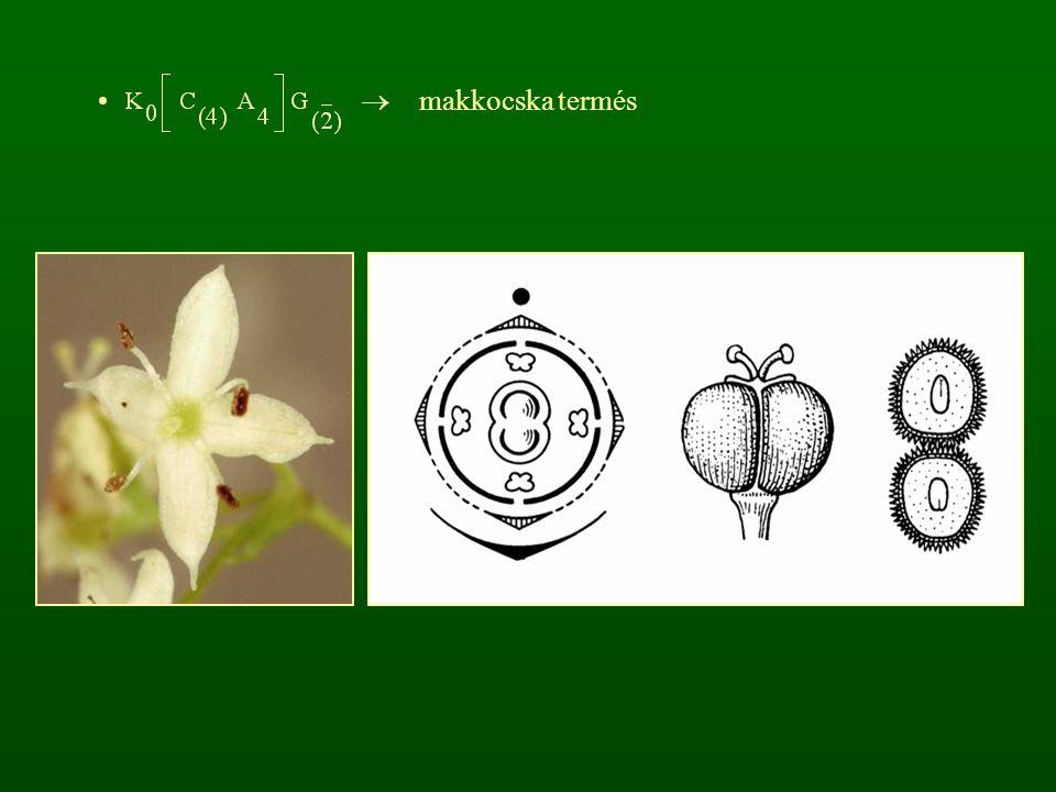 csöves virágúak: Eupatorium, Ambrosia, Chrysanthemum vulgare, Petasites, Senecio vulgaris, Cirsium, Artemisia Cirsium oleraceum