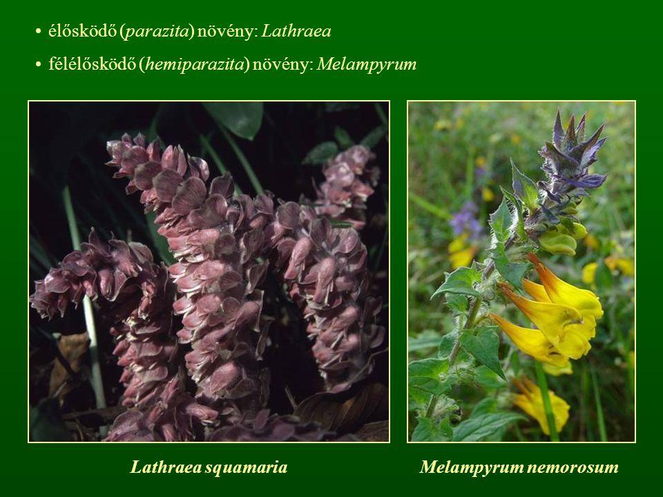 élősködő (parazita) növény: Lathraea félélősködő (hemiparazita) növény: Melampyrum Lathraea squamariaMelampyrum nemorosum