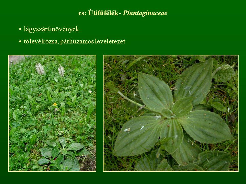 cs: Útifűfélék - Plantaginaceae lágyszárú növények tőlevélrózsa, párhuzamos levélerezet