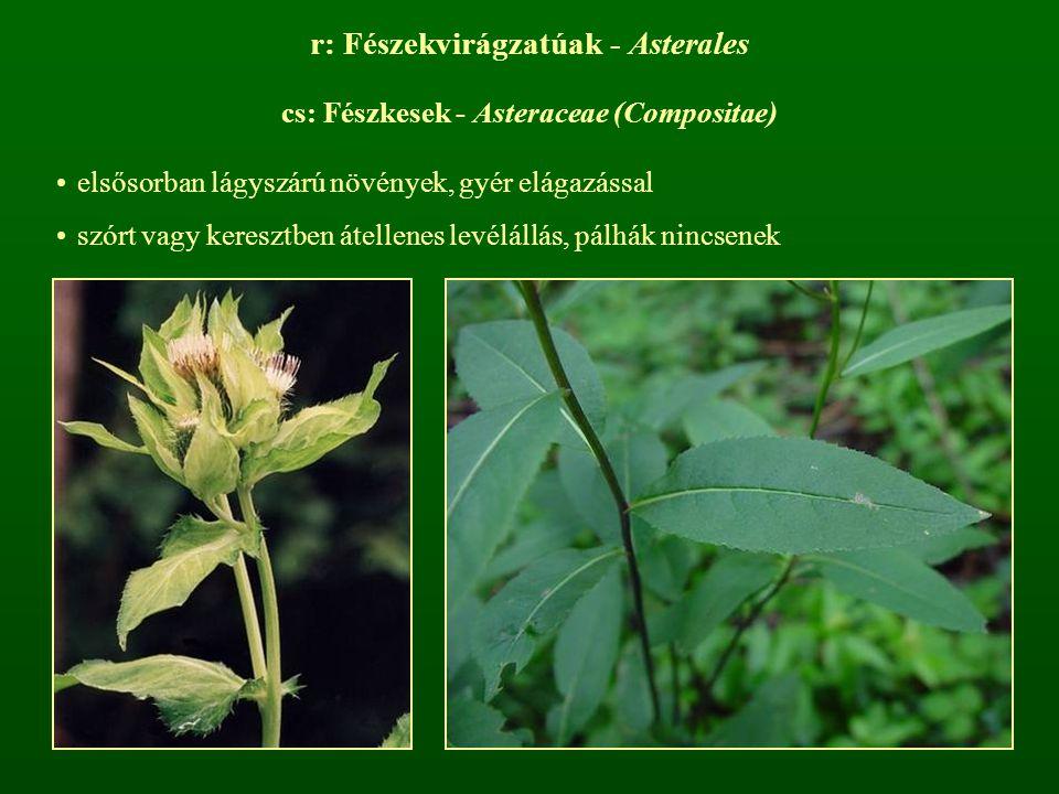 r: Fészekvirágzatúak - Asterales cs: Fészkesek - Asteraceae (Compositae) elsősorban lágyszárú növények, gyér elágazással szórt vagy keresztben átellen