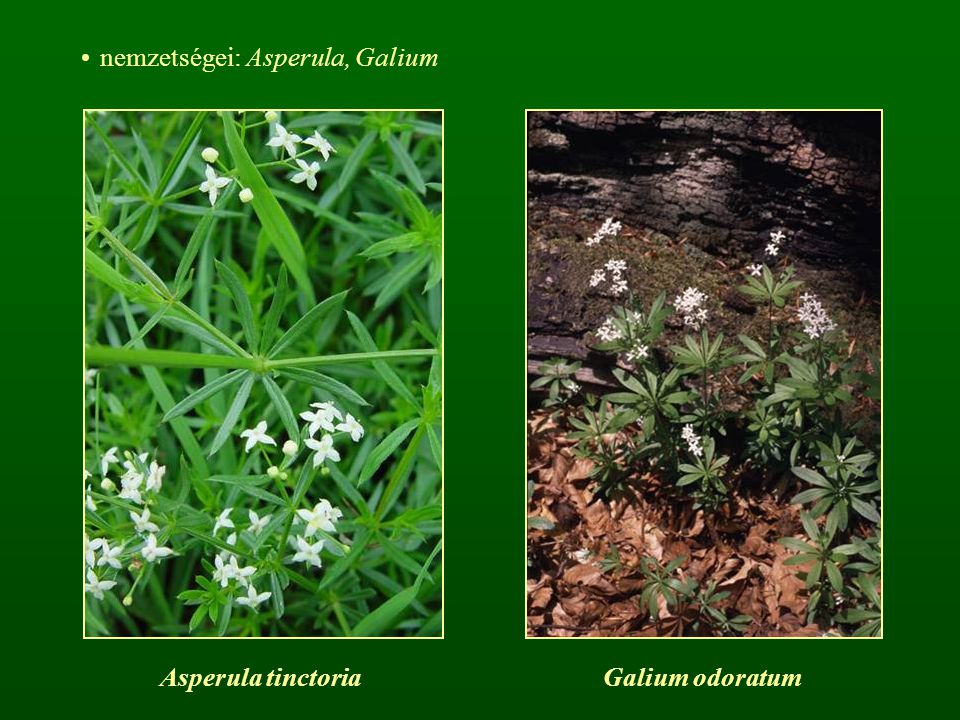 cs: Bodzafélék - Caprifoliaceae zömében fás növények keresztben átellenes levélállás, pálhák hiányoznak