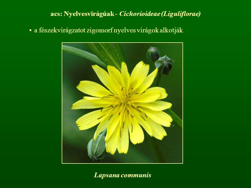 acs: Nyelvesvirágúak - Cichorioideae (Liguliflorae) a fészekvirágzatot zigomorf nyelves virágok alkotják Lapsana communis