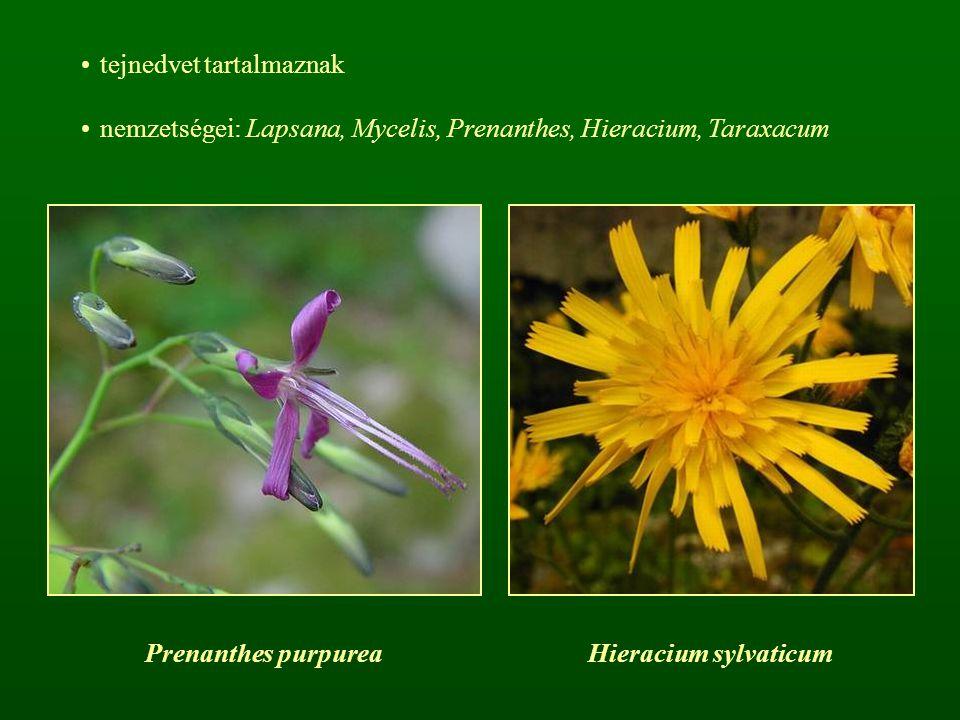 tejnedvet tartalmaznak nemzetségei: Lapsana, Mycelis, Prenanthes, Hieracium, Taraxacum Prenanthes purpureaHieracium sylvaticum
