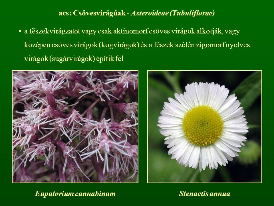 acs: Csövesvirágúak - Asteroideae (Tubuliflorae) a fészekvirágzatot vagy csak aktinomorf csöves virágok alkotják, vagy középen csöves virágok (kögvirá