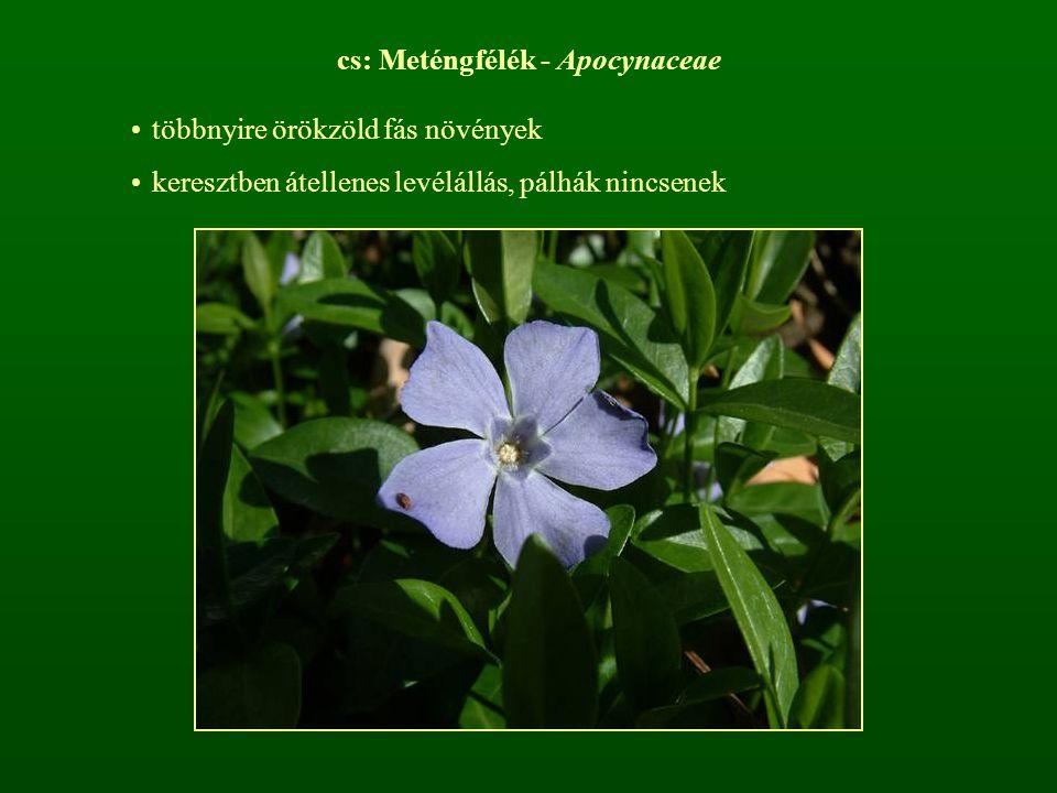 cs: Meténgfélék - Apocynaceae többnyire örökzöld fás növények keresztben átellenes levélállás, pálhák nincsenek