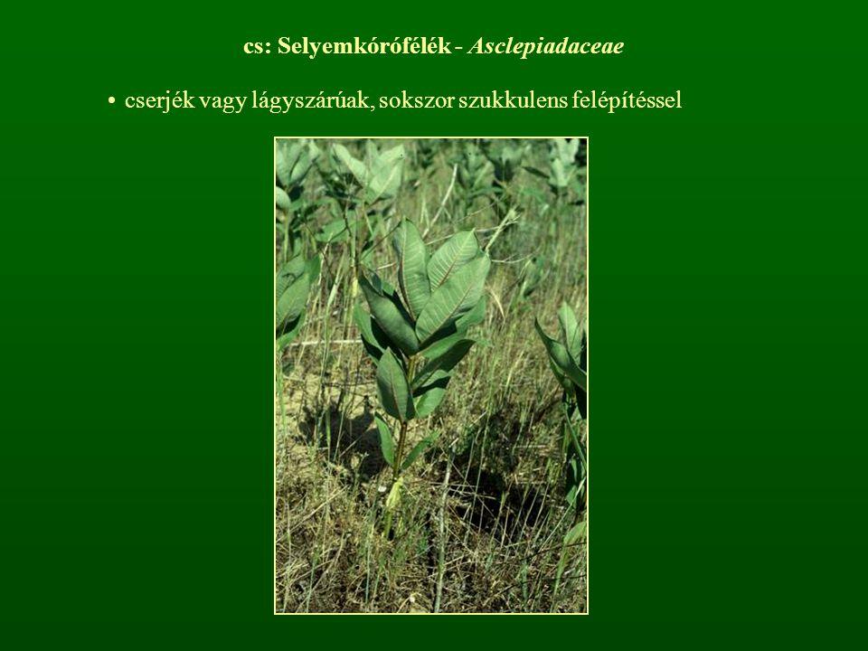 keresztben átellenes levélállás, pálhák vannak tejnedvet tartalmaznak Vincetoxicum hirundinariaAsclepias syriaca