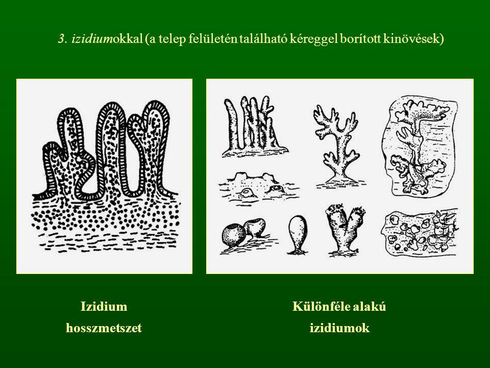 3. izidiumokkal (a telep felületén található kéreggel borított kinövések) Izidium hosszmetszet Különféle alakú izidiumok