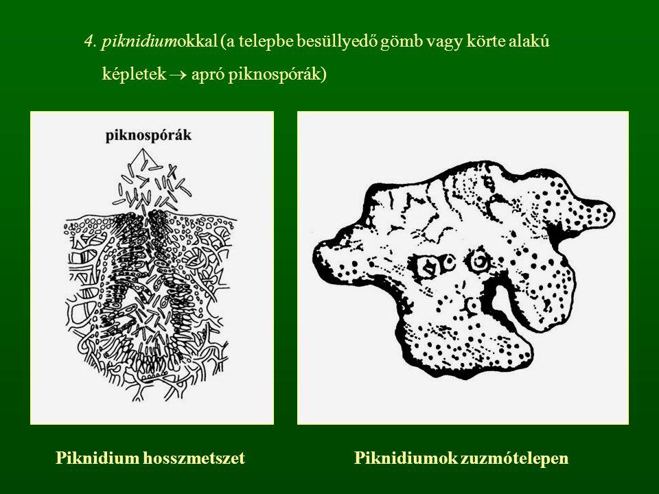 4. piknidiumokkal (a telepbe besüllyedő gömb vagy körte alakú képletek  apró piknospórák) Piknidium hosszmetszetPiknidiumok zuzmótelepen