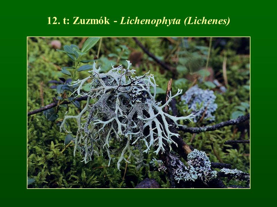 Telepes májmohák típusai A: Metzgeria sp.; B: Riccardia chamaedryfolia; C: R.