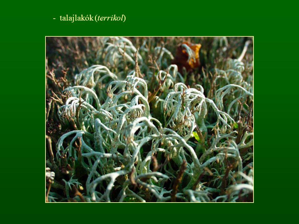 - talajlakók (terrikol)