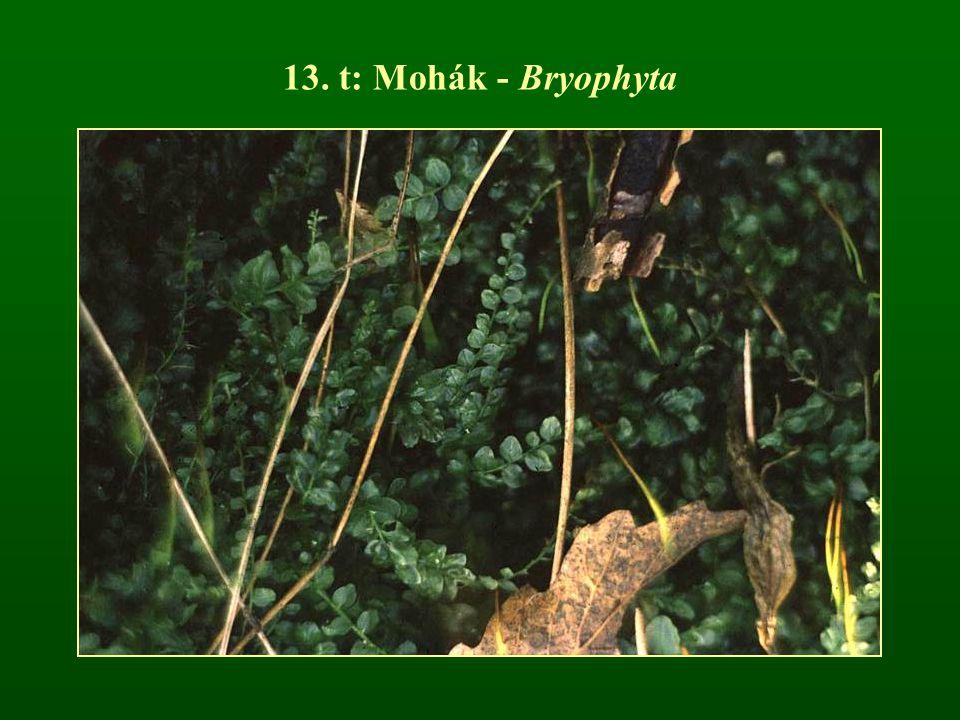13. t: Mohák - Bryophyta
