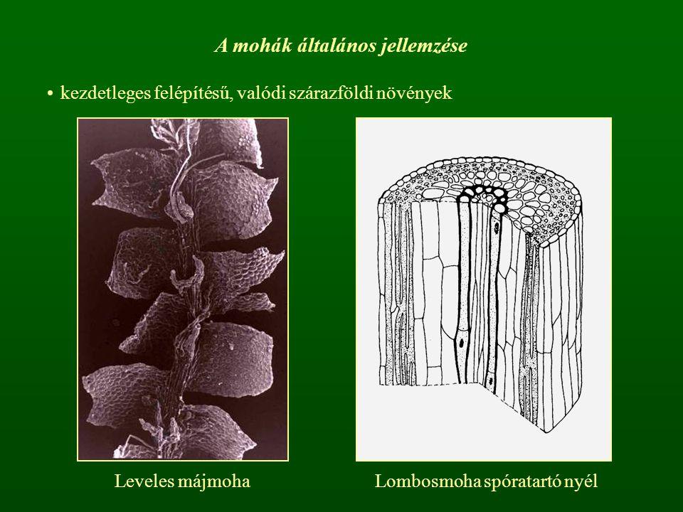 A mohák általános jellemzése kezdetleges felépítésű, valódi szárazföldi növények Leveles májmohaLombosmoha spóratartó nyél