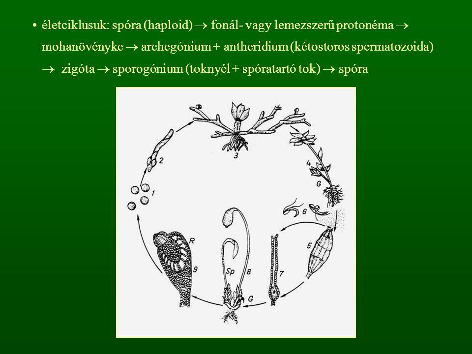 életciklusuk: spóra (haploid)  fonál- vagy lemezszerű protonéma  mohanövényke  archegónium + antheridium (kétostoros spermatozoida)  zigóta  spor