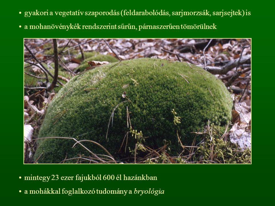 gyakori a vegetatív szaporodás (feldarabolódás, sarjmorzsák, sarjsejtek) is a mohanövénykék rendszerint sűrűn, párnaszerűen tömörülnek mintegy 23 ezer