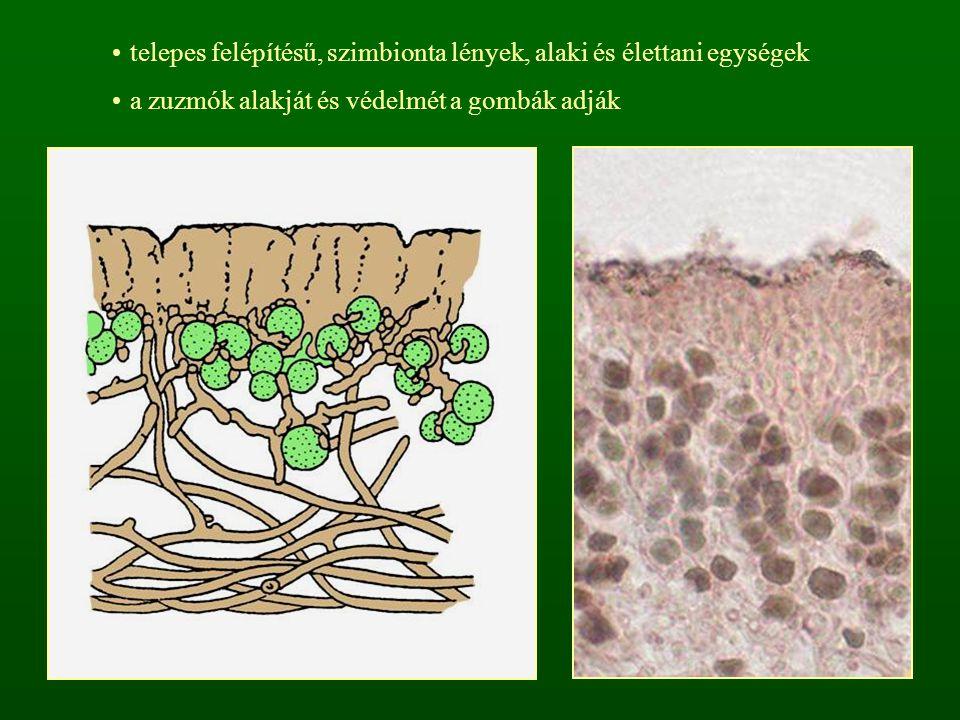 telepes felépítésű, szimbionta lények, alaki és élettani egységek a zuzmók alakját és védelmét a gombák adják