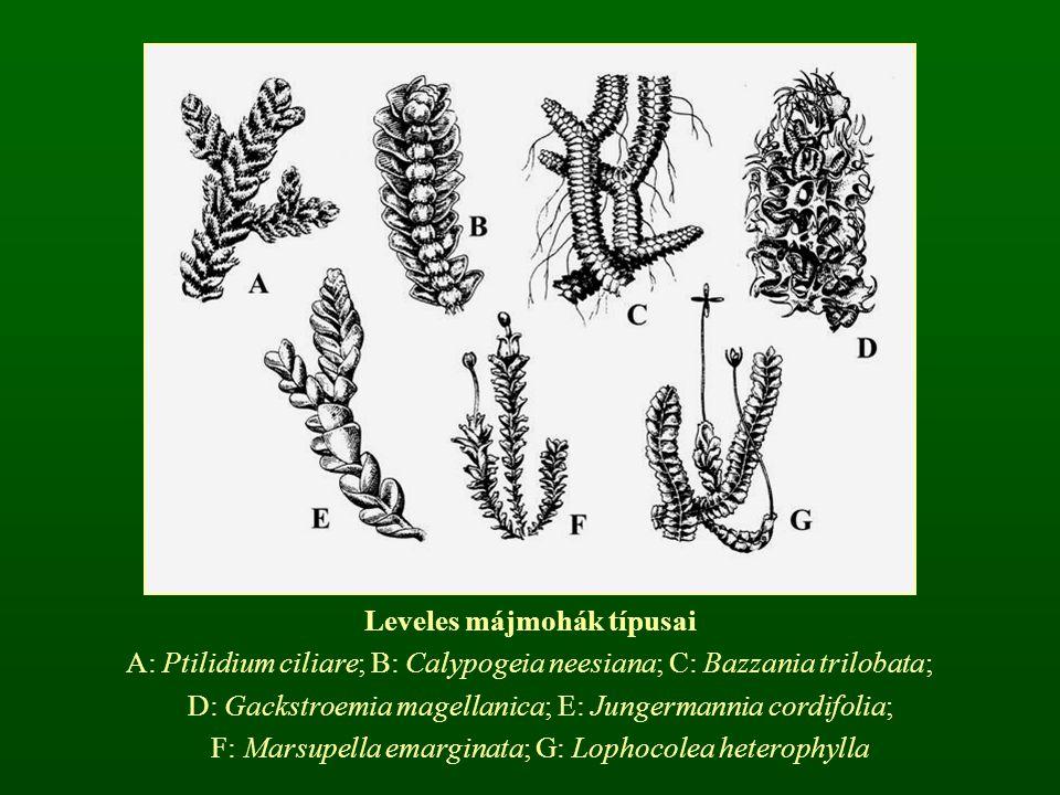 Leveles májmohák típusai A: Ptilidium ciliare; B: Calypogeia neesiana; C: Bazzania trilobata; D: Gackstroemia magellanica; E: Jungermannia cordifolia;