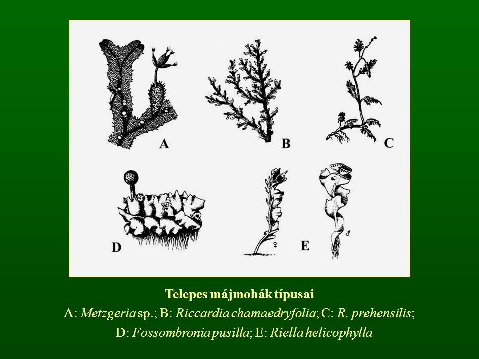 Telepes májmohák típusai A: Metzgeria sp.; B: Riccardia chamaedryfolia; C: R. prehensilis; D: Fossombronia pusilla; E: Riella helicophylla