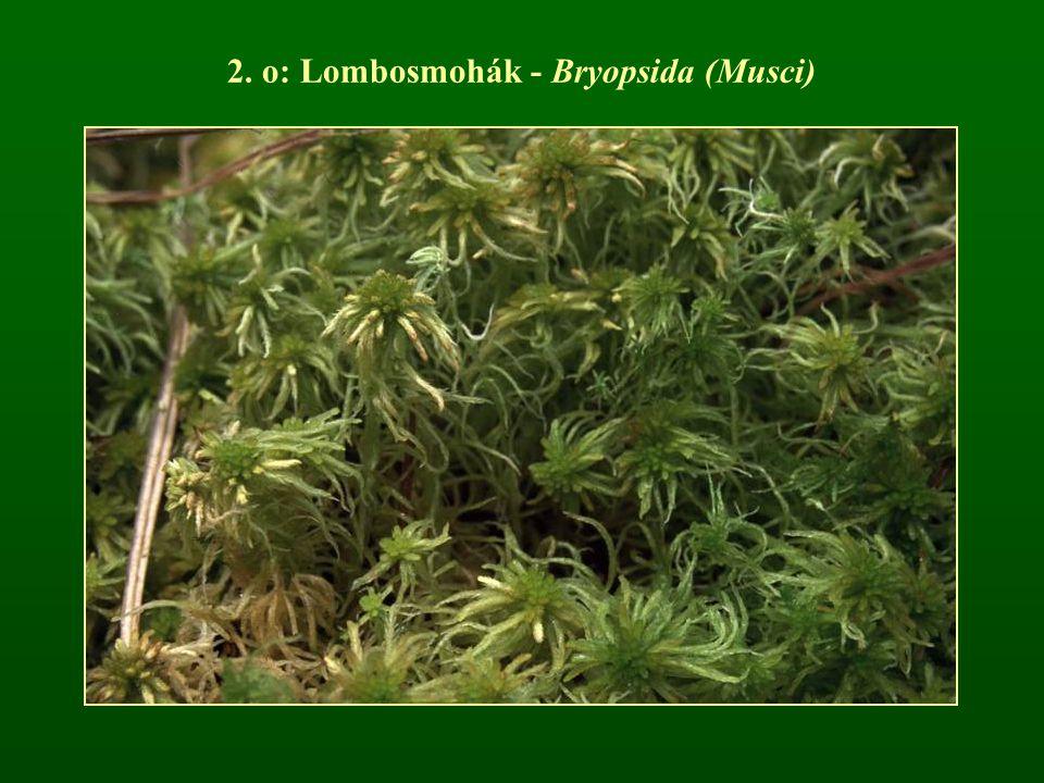 2. o: Lombosmohák - Bryopsida (Musci)