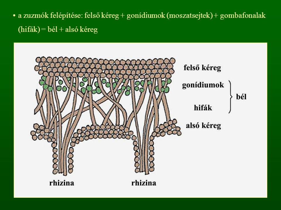 a gombák az algasejtek által előállított szerves vegyületekkel táplálkoznak, az algasejtek a gombák által felvett vizet és ásványi anyagokat hasznosítják az alsó kéregből gyökérszerű hifafonalak (rhizina) eredhetnek  rögzítés Rhizina hosszmetszet Rhizina típusok