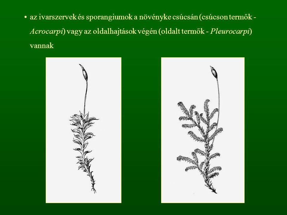 az ivarszervek és sporangiumok a növényke csúcsán (csúcson termők - Acrocarpi) vagy az oldalhajtások végén (oldalt termők - Pleurocarpi) vannak