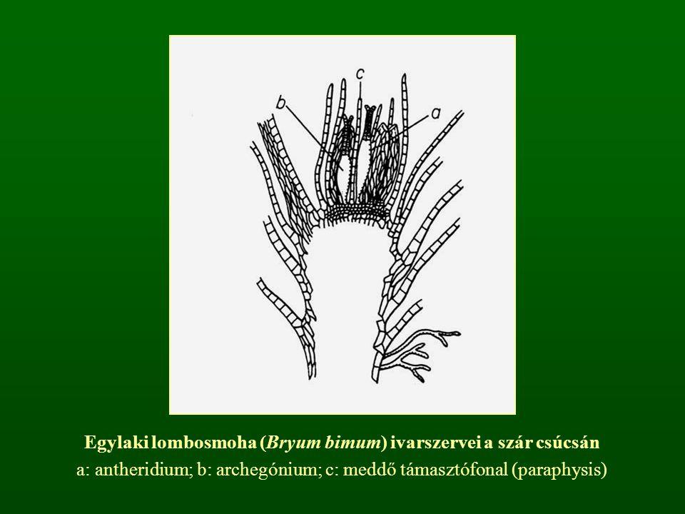 Egylaki lombosmoha (Bryum bimum) ivarszervei a szár csúcsán a: antheridium; b: archegónium; c: meddő támasztófonal (paraphysis)