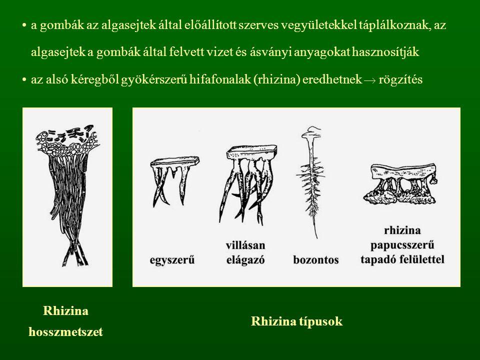 a gombák az algasejtek által előállított szerves vegyületekkel táplálkoznak, az algasejtek a gombák által felvett vizet és ásványi anyagokat hasznosít