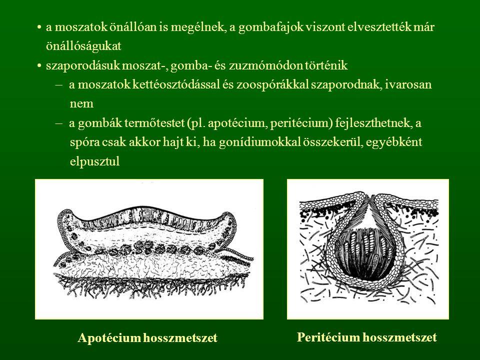 Lecanora (1) és Lecidea (2) típusú apotécium (et: epitécium; ht: hipotécium; hm: himénium; pt: paratécium; at: amfitécium)