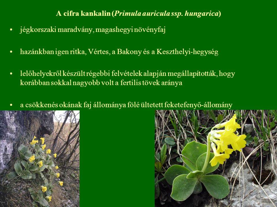 A cifra kankalin (Primula auricula ssp. hungarica) jégkorszaki maradvány, magashegyi növényfaj hazánkban igen ritka, Vértes, a Bakony és a Keszthelyi-