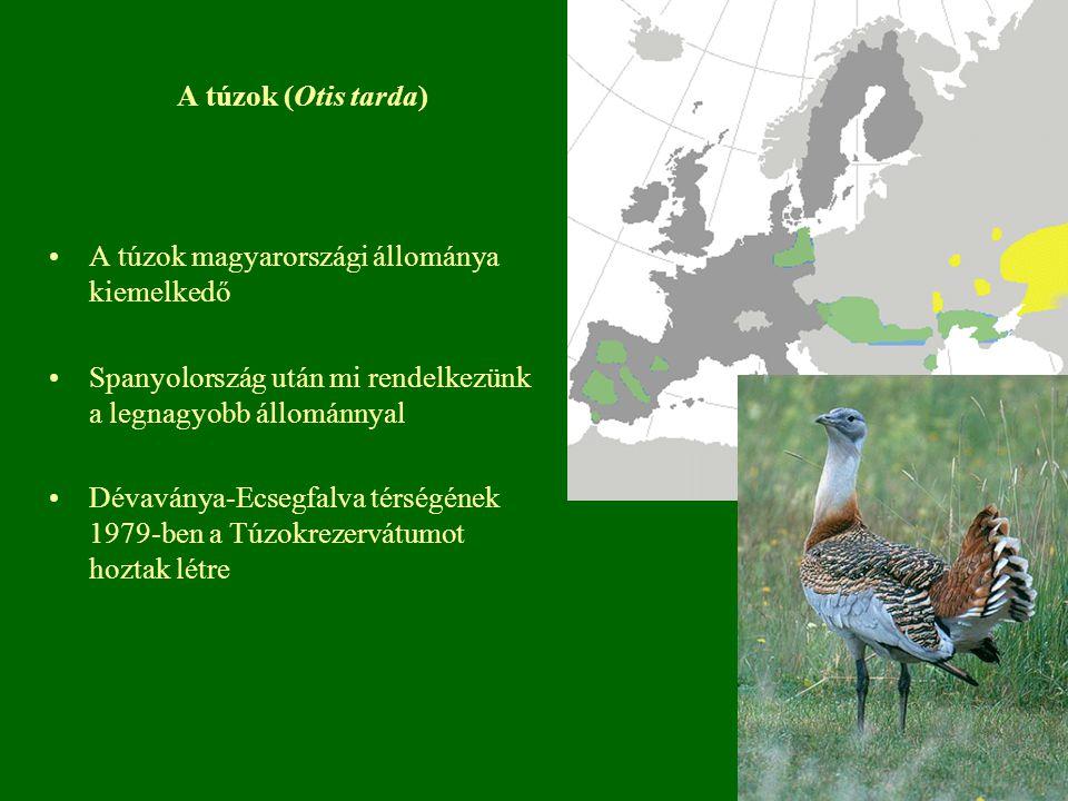 A túzok (Otis tarda) A túzok magyarországi állománya kiemelkedő Spanyolország után mi rendelkezünk a legnagyobb állománnyal Dévaványa-Ecsegfalva térsé