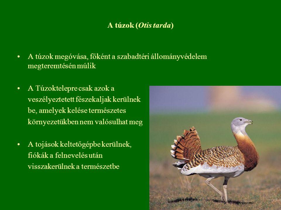 A túzok (Otis tarda) A túzok megóvása, főként a szabadtéri állományvédelem megteremtésén múlik A Túzoktelepre csak azok a veszélyeztetett fészekaljak