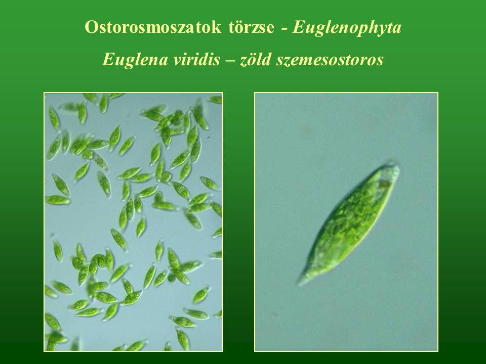 Ostorosmoszatok törzse - Euglenophyta Euglena viridis – zöld szemesostoros