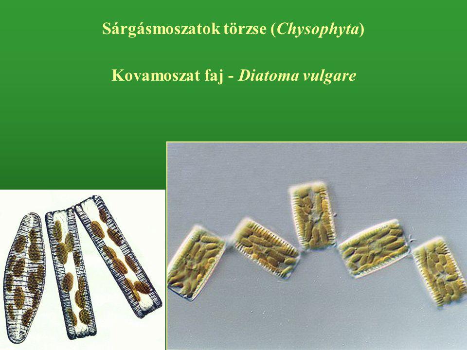 Kovamoszat faj - Diatoma vulgare Sárgásmoszatok törzse (Chysophyta)