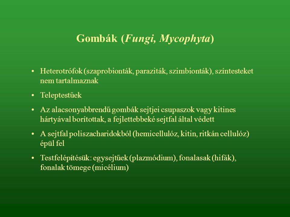 Gombák (Fungi, Mycophyta) Heterotrófok (szaprobionták, paraziták, szimbionták), színtesteket nem tartalmaznak Teleptestűek Az alacsonyabbrendű gombák