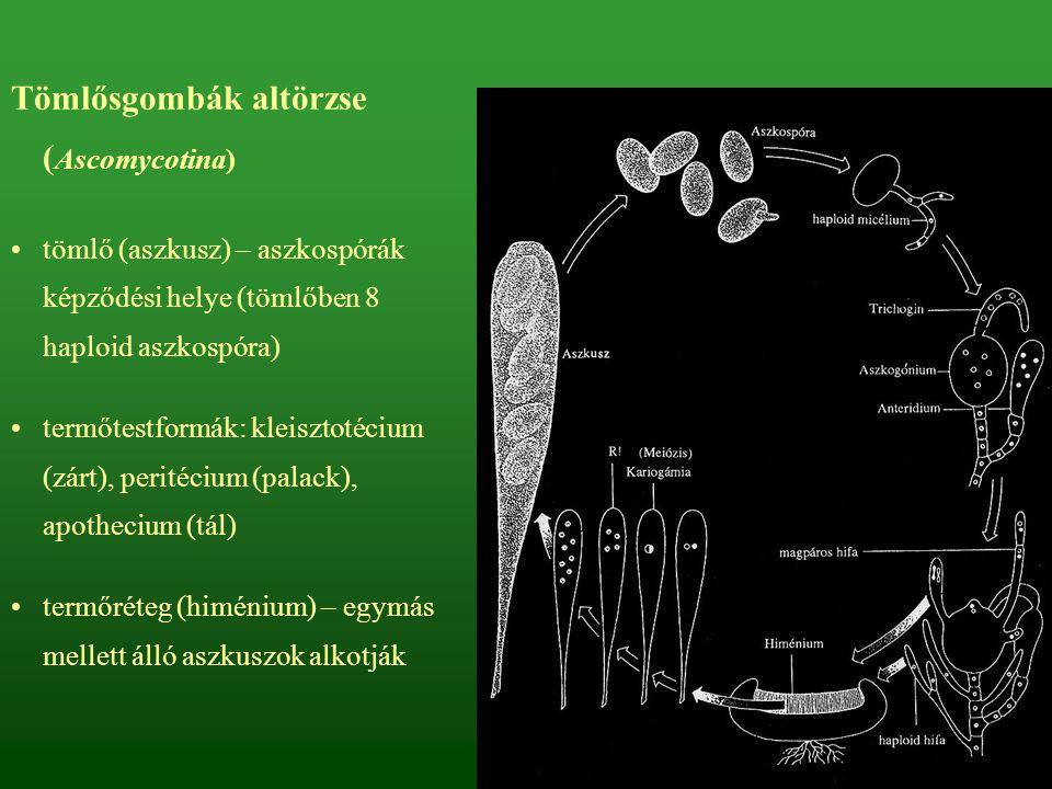 Tömlősgombák altörzse ( Ascomycotina) tömlő (aszkusz) – aszkospórák képződési helye (tömlőben 8 haploid aszkospóra) termőtestformák: kleisztotécium (z