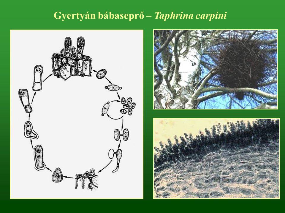 Gyertyán bábaseprő – Taphrina carpini