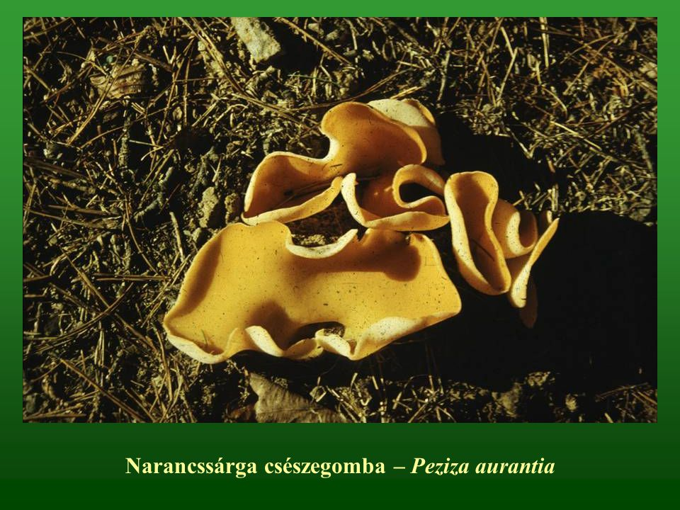 Narancssárga csészegomba – Peziza aurantia